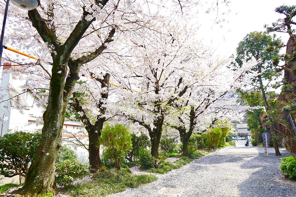 倉敷アイビースクエアの桜