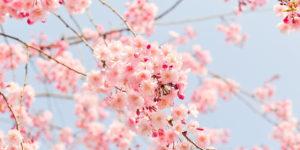 春の桜のイメージ写真